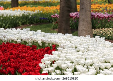 Colorful tulips and muscari flowers creates beautiful paysage in spring time Emirgan,Istanbul