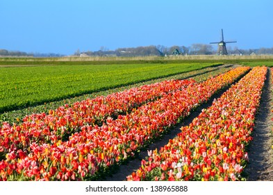 colorful tulips on field by Dutch windmill, Schagen, North Holland