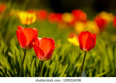 colorful tulips on a field outside