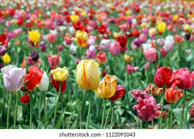 Colorful tulips on a field - some of them being withered already which gives them a special charm
