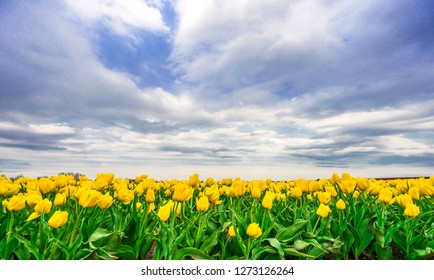 Colorful tulips on a field in springtime.