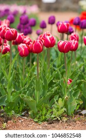 Colorful tulips on flower exhibition