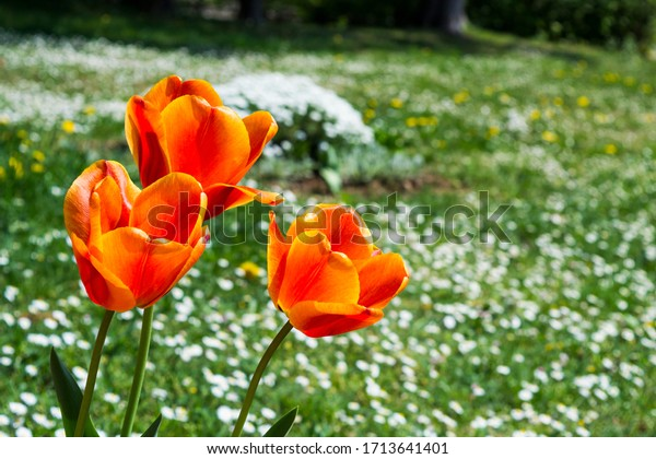 Colorful tulips on a green meadow in a springtime, tulipa gesneriana