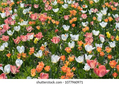 Colorful tulips on sunlit meadow