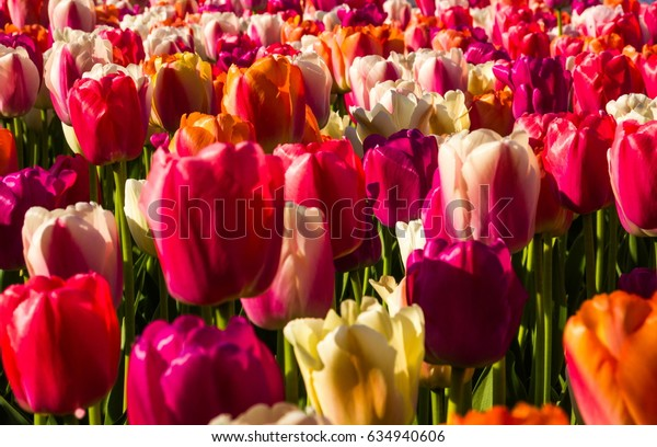Colorful tulips in spring field