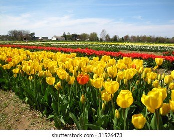 Colorful tulips in the spring in the midwest
