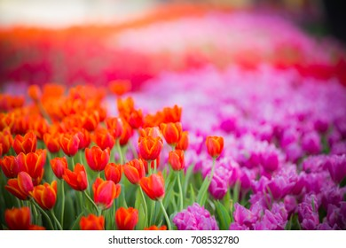 colorful tulips in the spring sun