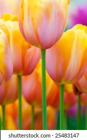 Colorful tulips in spring(Keukenhof, The Netherlands)