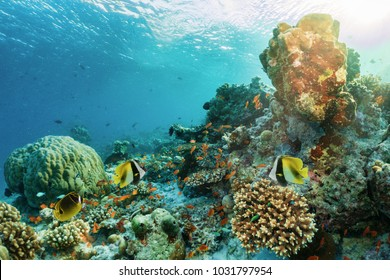 Colorful underwater coral reef with tropical fish in the Maldives