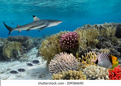 Colorful underwater coral reef with yellow stripped fish and big shark