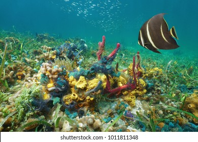 Colorful underwater marine life on the seabed in the Caribbean sea composed by corals, sponges, brittle stars, anemones with an angelfish
