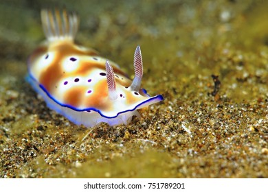 Colorful underwater nudibranch on the sea bottom. Close-up detail of the sea slug. Scenery from scuba diving with underwater wildlife in tropical ocean.