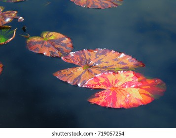 Colorful, variegated large lily pads in dark pond with sky reflection in water.