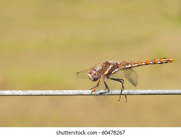 Colorful Variegated Meadowhawk dragonfly resting on a wire