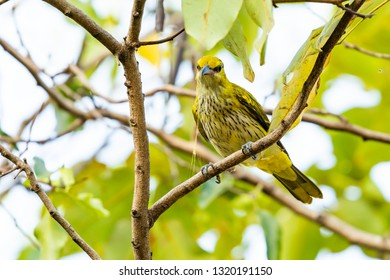 Colorful and very young Black-naped Oriole perching on a perch