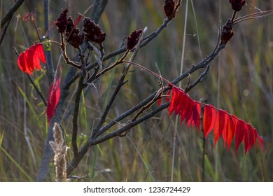 Colorful vibrant leaves on a sumac plant during the autumn season in Latvia. Sumac with red  leaves.