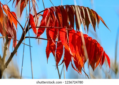 Colorful vibrant leaves on a sumac plant during the autumn season in Latvia. Sumac with red  leaves. Sumac on background of blue sky.