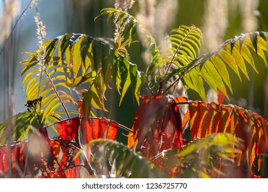 Colorful vibrant leaves on a sumac plant during the autumn season in Latvia. Sumac with red and green leaves.