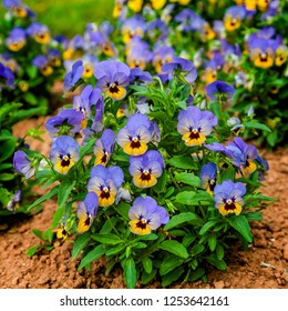Colorful and vibrant pansy flowers growing in the garden.