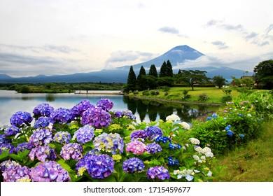夏の富士山と日本の静岡の狸湖で見る、アジサイの花のカラフルな景色