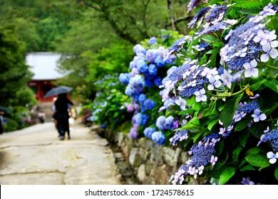 日本・奈良・矢田寺のアジサイ(あじさい)のカラフルな眺めが前景に集中