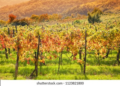 Colorful vineyard in a row