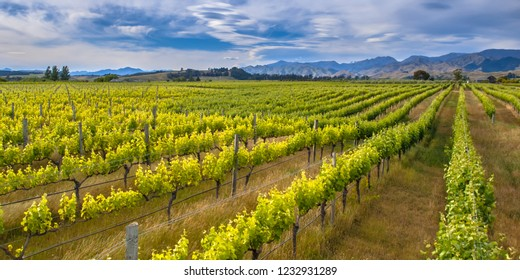 Colorful Vineyard sideview under dramatic sky with lenticular clouds in Marlborough area new zealand
