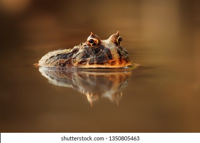 Colorful and warm light photo of exotic frog in water with beautiful reflection on water surface. Still sitting amphibian, wonderful natural shot.