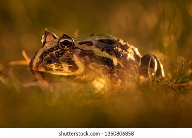 Colorful and warm light photo of exotic frog sitting in grass. Still sitting amphibian, wonderful natural shot.