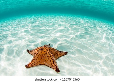 A colorful West Indian sea star lies on a shallow, sandy seafloor off the coast of Belize. This area is home to the Mesoamerican Reef System, the second largest barrier reef in the world.