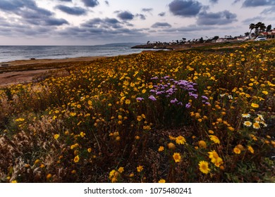 Colorful white, purple and yellow wildflowers on ocean side cliffs