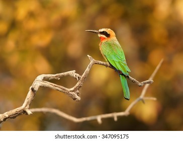 Colorful White-fronted Bee-eater Merops bullockoides perching on branch at the bank of river Chobe, Botswana,Africa. Typical environment.