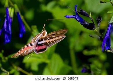 Colorful Winged Sphinx Moth Feeding On Flowers
