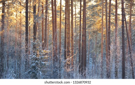 Colorful winter sunset. A view of the snow-covered pine forest. Evening. Finland, Lapland