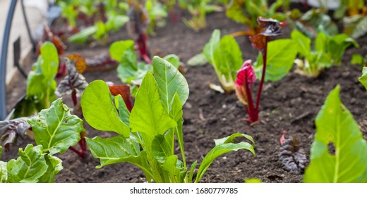 Colorful Winter vegetable garden greenhouse with winter crop -  lettuce, cabbage, beet greens and swis chard.All year round fresh leaves for salad.