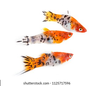 colorful Xiphophorus in front of white background