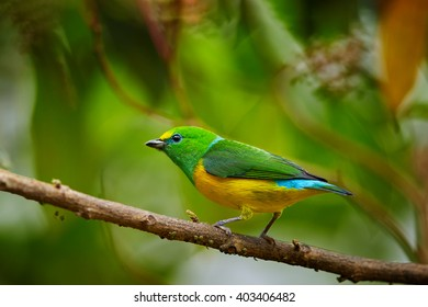 Colorful, yellow and bright green, small tropical bird, Blue-naped Chlorophonia,Chlorophonia cyanea psittacina, perched on twig against blurred green leaves. Close up,wildlife photo. Colombia.