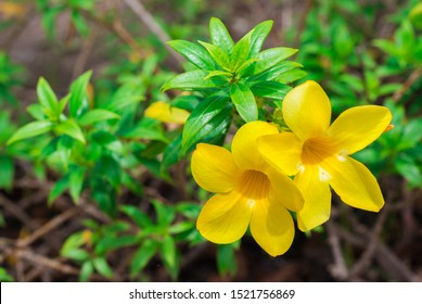 Colorful yellow flowers of Allamanda, Common allamanda, Golden trumpet, Golden trumpet vine, Yellow bell (Allamanda Cathartica) are blooming on shrub tree in the flower garden