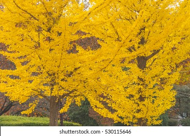 colorful yellow ginko leaves branch tree in showa kinen park, Tokyo, Japan