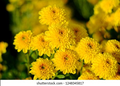 Colorful yellow and orange chrysanthemum flower bloom in the farm.