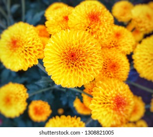 Colorful yellow and orange chrysanthemum flower bloom in the farm