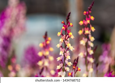 Colorful yellow pink and purple lupine lupin flowers closeup in Kyoto, Japan as landscaped decorative plants with bokeh blurry background