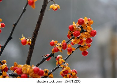 Colorful yellow and red berries, Oriental bittersweet open at autumn.