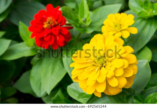 Colorful Yellow and Red  Zinnias