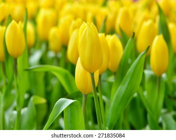 colorful yellow tulips in the garden