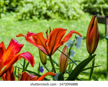 Colorful yellow-red  Asiatic hybrid lily close up on blurred bokeh green background in backlight