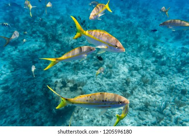 Colorful Yellowtail Snappers fish by the reef. Selective focus
