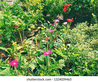 colorful yerbera flowers and green plant for home garden. barberton daisy. home plant.