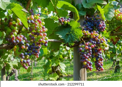 Colorful, young grapes
