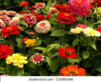 Colorful Zinnia flowers , Blooming Zinnia flowers in the garden. Closeup Zinnia flowers.